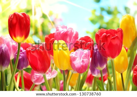 Fresh colorful tulips in warm sunlight - stock photo