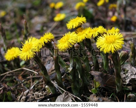 Fresh coltsfoot flowers in the spring. Great herbs for a healthy tea. Low DOF