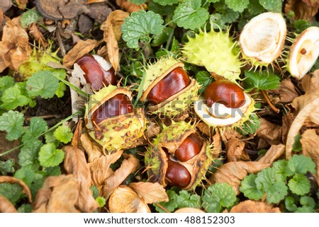 Fresh conkers from Horse chestnut tree on the ground ready for collecting.
