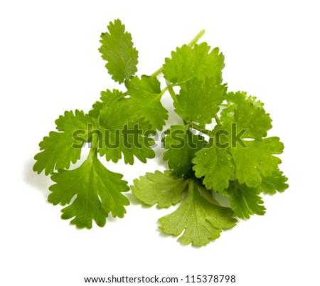 Fresh coriander leaves closeup shot isolated on white - stock photo
