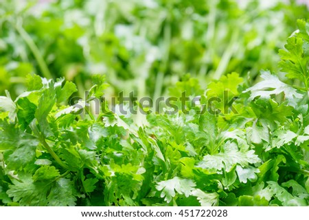 Fresh Coriander Texture Background