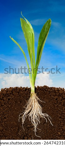 Fresh coriander with underground root visible and blue sky - stock photo