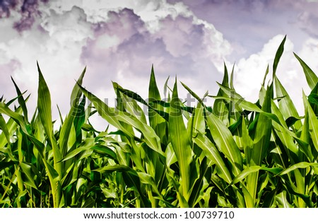 Fresh corn field under dramatic sky - stock photo