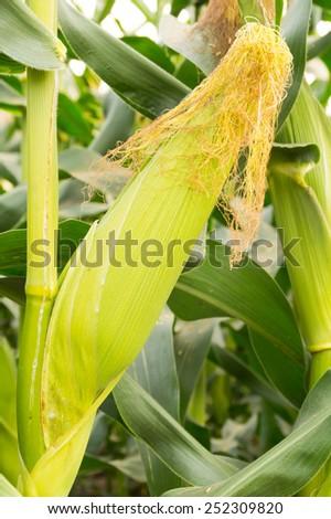 fresh corn hanging on tree in farm - stock photo