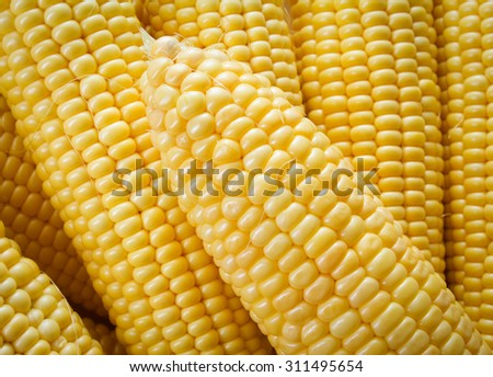 Fresh corn on cobs - stock photo
