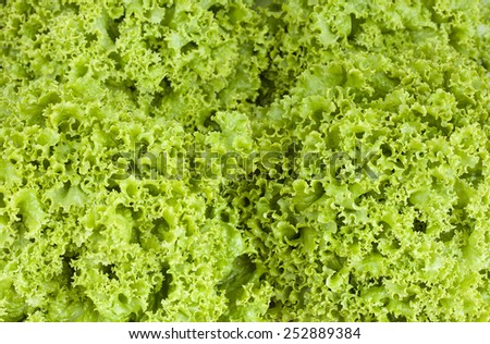 Fresh crisp lettuce     - stock photo