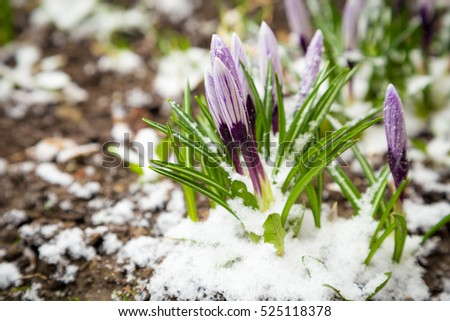 Fresh crocuses under snow. Natural spring background with space for text