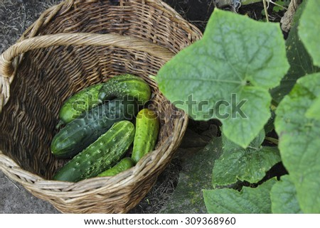 Fresh cucumbers in a wattled basket on a bed. Crop of cucumbers. Selective focus