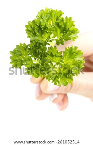 Fresh curly parsley in hand isolated on a white background - stock photo