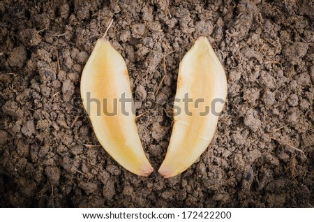Fresh cut off yacon root 2 pieces on the black loose soil - stock photo