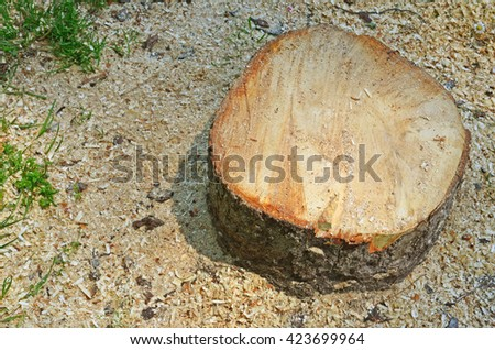 fresh cut tree stump.  Cutting down tree. Environmental problem concept - stock photo