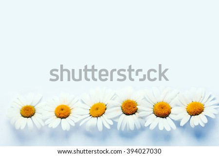 Fresh daisies on blue background. Summer flower - stock photo