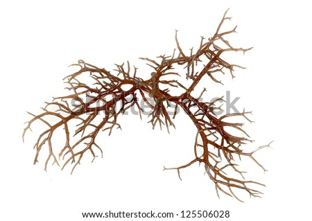 fresh dark brown seaweed isolated on white background - stock photo