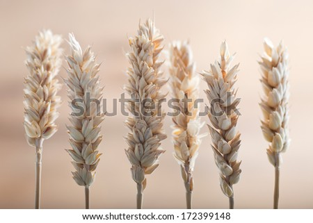 Fresh ears of ripe golden wheat arranged in a row on a neutral beige background