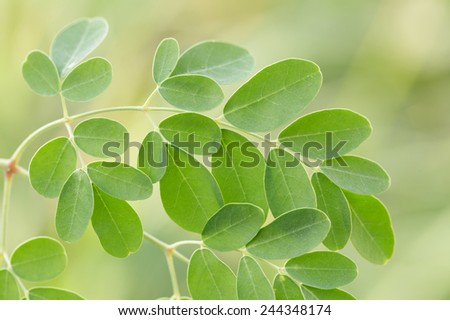 Fresh edible moringa leaves - stock photo