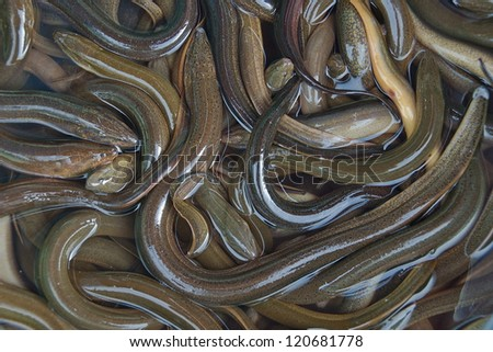 Fresh eels in Vietnamese market. - stock photo