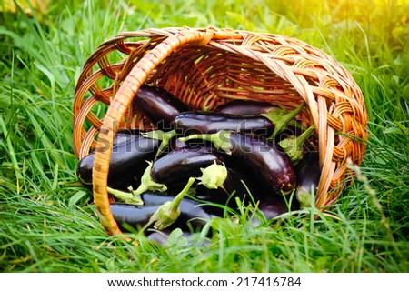 Fresh eggplant in basket on grass - stock photo