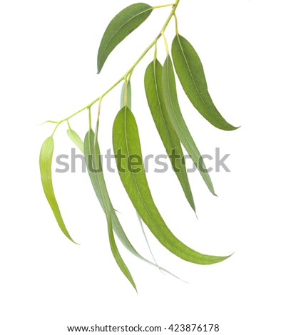 fresh eucalyptus leaves isolated on white background