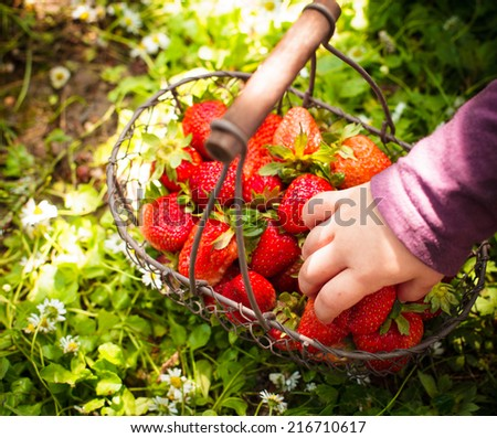 Fresh farm strawberries in a basket on the lawn and kid's hand