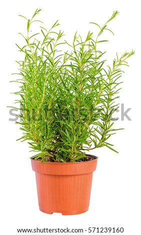 fresh fines herbs, green rosemary in flower pot  is isolated on white background, close up