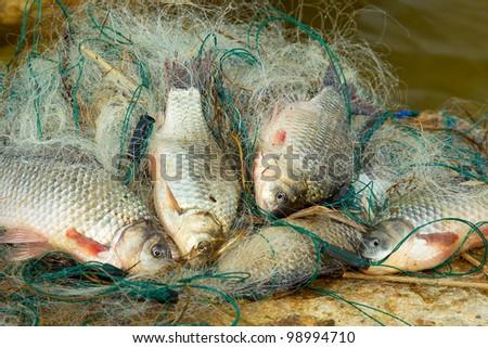 Fresh fish - carp, caught in fishing net - stock photo
