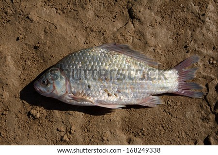 fresh fish on a clay soil - stock photo