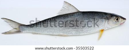 Fresh fish on a white background - stock photo