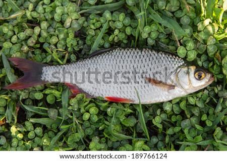 Fresh fish rudd caught on a fishing rod on green grass - stock photo