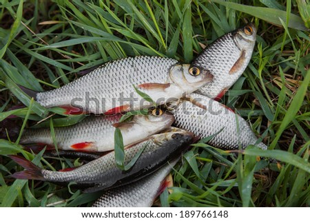 Fresh fishes rudd caught on a fishing rod on green grass - stock photo