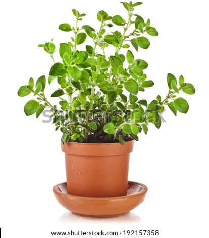 fresh flavoring herbs oregano in brown flower pot isolated on white background  - stock photo