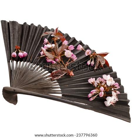 Fresh Flower Sakura in a Black Vintage Japanese Paper Fan Isolated on white background - stock photo