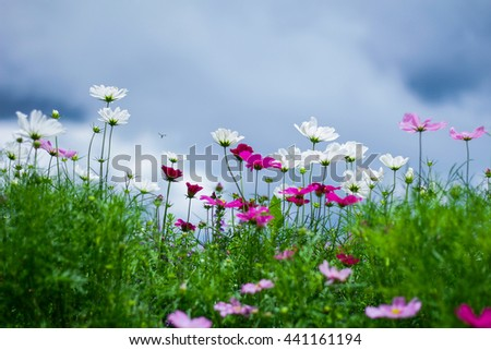 Fresh flowers and green grass, Pink cosmos flowers - stock photo