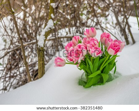 Fresh flowers in a vase standing in the snow on a background of dry twigs. Tulips in a snowdrift. - stock photo