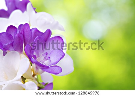 Fresh fresia flowers - stock photo