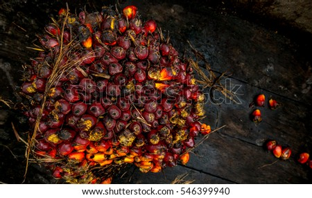 Fresh fruit seeds of oil palm.