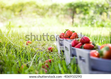 Fresh fruit. Strawberries in grass  Spring fruit. Spring nature - stock photo