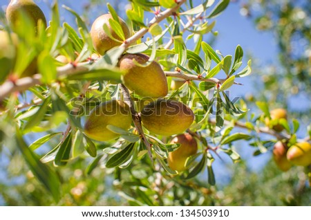 Fresh fruits of Argan on the branch - stock photo