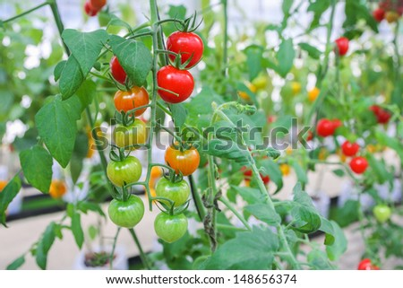 Fresh garden tomatoes - stock photo