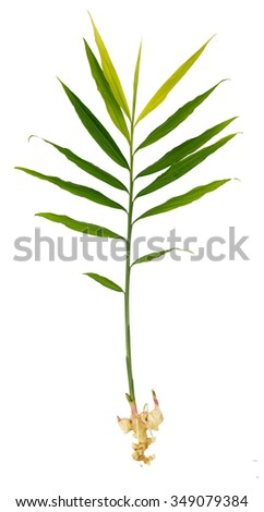 Fresh ginger plant - spicy herb isolated on white - stock photo