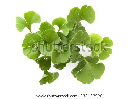 Fresh ginkgo biloba bunch with dew isolated on white background. Alternative medicine herb, memory enhancement. - stock photo