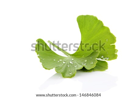 Fresh ginkgo biloba leaf with dew drops isolated on white background with reflection. Healthy living. Natural alternative medicine. - stock photo