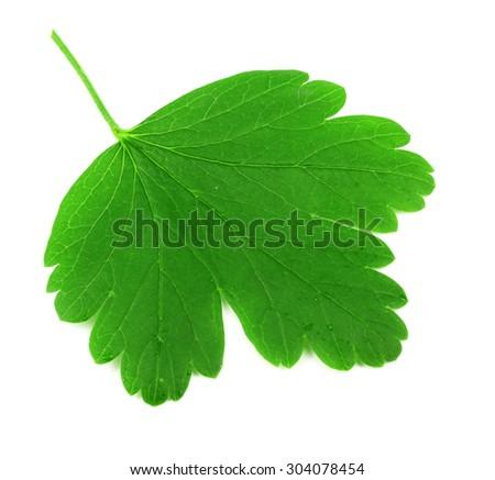 Fresh gooseberry leaf isolated on white - stock photo