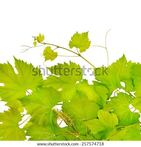 fresh grape leaves isolated on white - stock photo