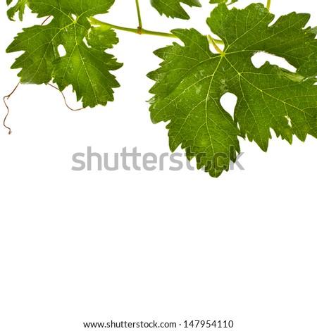 fresh grape leaves isolated on white background - stock photo