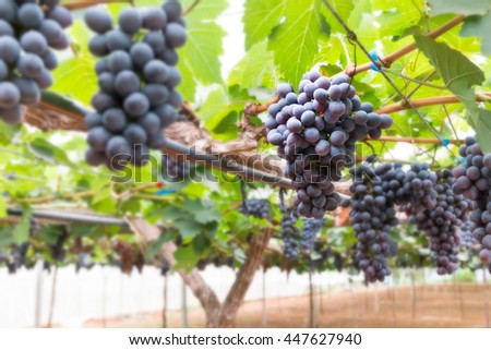 Fresh grapes hanging on a branch in farm
