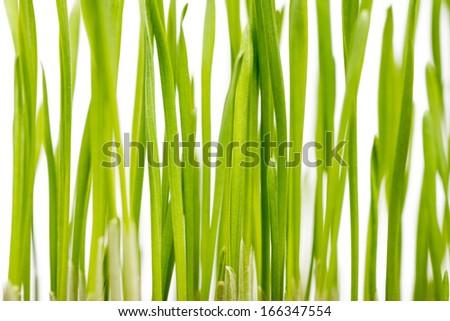 Fresh Grass Closeup On White Background - stock photo