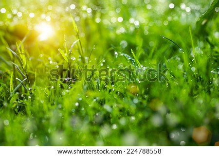 Fresh grass with dew drops in the morning.