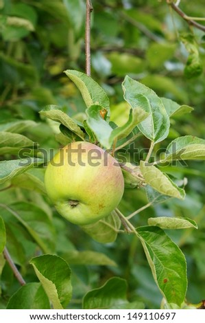 Fresh green apples hanging on a tree