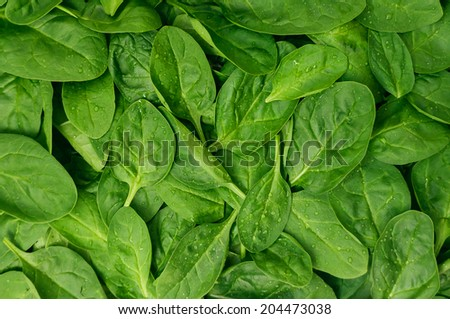 Fresh green baby spinach leaves  - stock photo