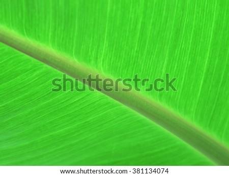 Fresh green banana leaf background - stock photo